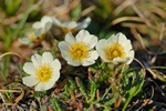 Fjeldsimmer (Dryas octopetala)